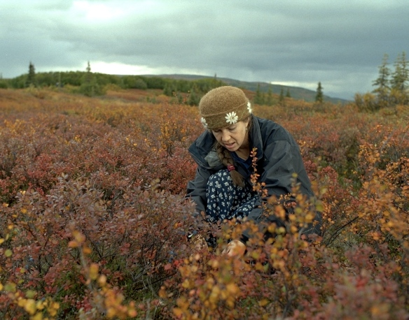 Picking blueberries at Wonder Lake, Denali Park, Alaska, September 2002.