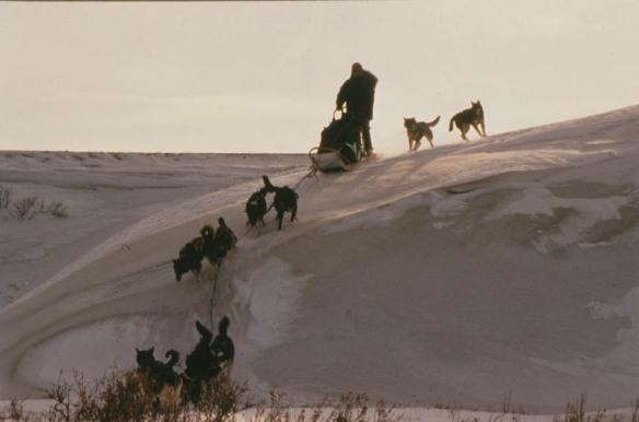 Dog mushing in Denali Park.