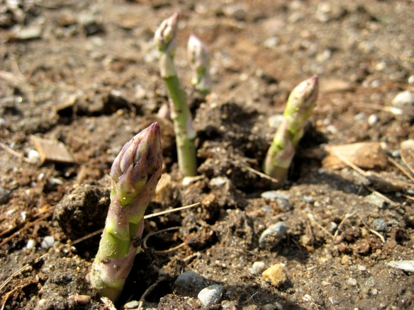 Spring asparagus shoots return