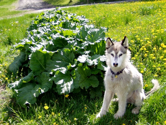 Quinn-dog and old-growth rhubarb patch