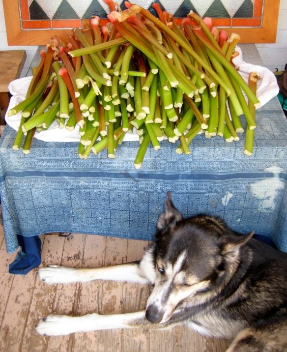 Abundant Rhubarb Harvest
