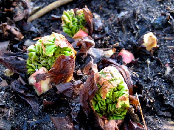 Rhubarb Budding Out