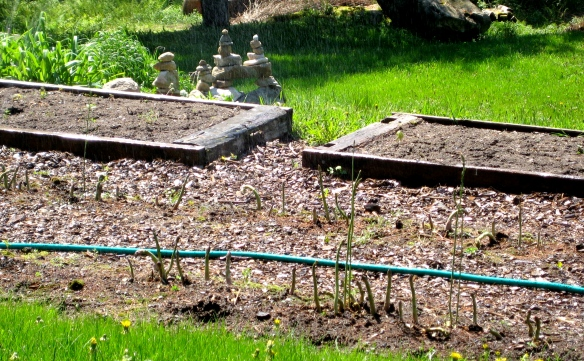 A double Inuksuk sculpture presides over our asparagus bed in Canaan, New Hampshire.